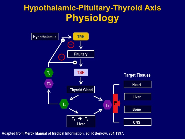 hypothalamic-pituitary-thyroid-axis.jpg